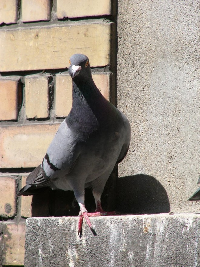 Pigeon Infestation threatens to damage neighboring businesses causing concerns for the Linton City Council