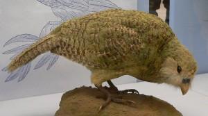 800px-Kakapo5